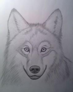 wilk - szkic wilka - 50 faktów o mnie